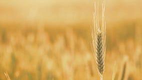 Yellow Wheat Ears Field Blowing In Wind. Rich Harvest Wheat Field, Fresh Crop Of Wheat Ears stock footage