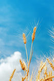 Yellow wheat ears on field and blue sky Royalty Free Stock Images