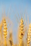 Yellow wheat ears on the field Stock Images
