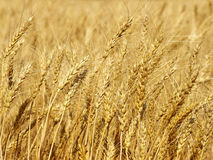Yellow wheat ears on field taken closeup.Background. Royalty Free Stock Photo