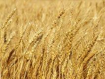 Yellow wheat ears on field taken closeup.Background. Royalty Free Stock Photo