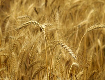 Yellow wheat in a farm field, closeup on ears Royalty Free Stock Images