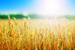 Yellow wheat field Royalty Free Stock Photos