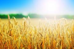 Yellow wheat field royalty free stock photos