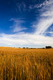 Yellow wheat field Royalty Free Stock Images