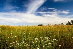 Yellow wheat field Royalty Free Stock Photo