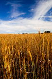 Yellow wheat field Stock Photos