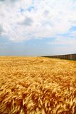 Yellow wheat field Royalty Free Stock Photography