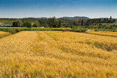 Yellow wheat field Stock Photo