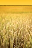 Yellow wheat field stock photography