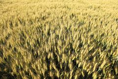 Yellow Wheat field from above Stock Photo