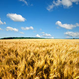 Yellow wheat field against blue sky Stock Photos