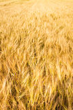 Yellow wheat field background Stock Photography