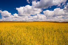 Yellow wheat field and blue sky Royalty Free Stock Photo