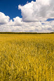 Yellow wheat field and blue sky Stock Image