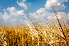 Yellow wheat field with blue sky Stock Photo