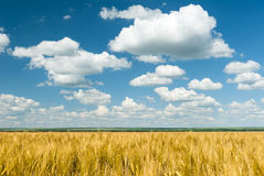 Yellow wheat field and blue sky summer landscape Royalty Free Stock Image