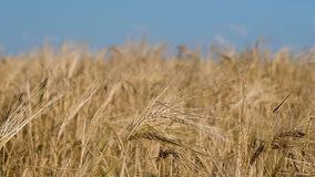 Yellow wheat field and blue sky. The young girl does exercises stock footage
