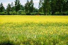 Yellow wheat field close up macro photograph Royalty Free Stock Image