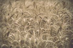 Yellow wheat field close up macro photograph - vintage toned ima. Yellow wheat field close up macro photograph with abstract texture - vintage toned image royalty free stock photos