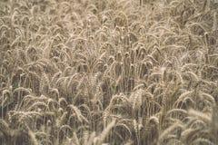 Yellow wheat field close up macro photograph - vintage toned ima. Yellow wheat field close up macro photograph with abstract texture - vintage toned image stock photography