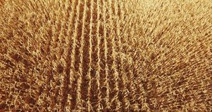 Yellow wheat field corn on the sunset .Close up stock video footage