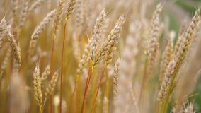 Yellow wheat field. Ears swaying in the wind. Ear close-up
