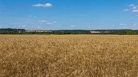 Yellow wheat field Royalty Free Stock Image