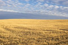 Yellow wheat field on a hill after harvest royalty free stock photo