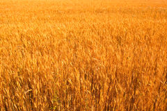 Yellow wheat field isolated Royalty Free Stock Photo