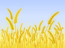 Yellow Wheat Field with Light Blue Sky. Illustration Stock Images