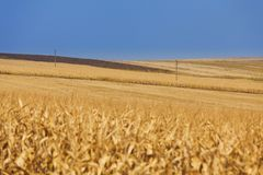 Yellow wheat field with power lines Stock Images
