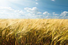 Yellow wheat field and sky summer landscape Royalty Free Stock Photo