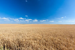 Yellow wheat field in sunny day Royalty Free Stock Photography