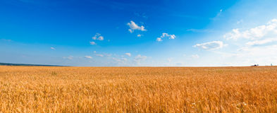 Yellow wheat field under blue sky Royalty Free Stock Photo