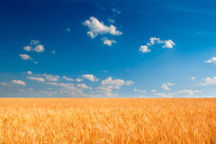 Yellow wheat field under blue sky Royalty Free Stock Photos