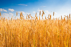 Yellow wheat field under blue sky Stock Photography
