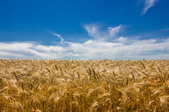 Yellow wheat field. Under the blue sky Royalty Free Stock Photo