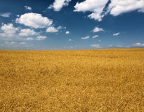 Yellow wheat field under blue sky and clouds Royalty Free Stock Photo