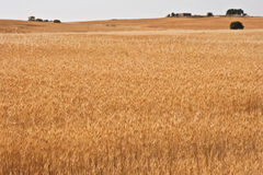 Yellow wheat fields Stock Photography