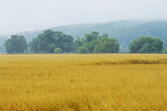 Yellow wheat fields Royalty Free Stock Photography