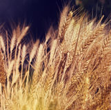 Yellow wheat in nature. Royalty Free Stock Photography