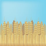 Yellow wheat over blue sky background. Vector background Stock Image