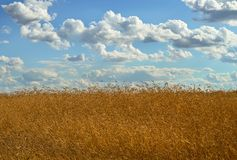 Wheat under a cloudy sky royalty free stock image