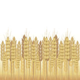 Yellow wheat on a white background Stock Images
