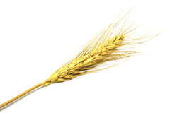Yellow wheat on white background. Ear isolated Royalty Free Stock Photos