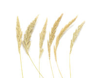 Yellow wheat on white background top view, Dried stems meadow. Wheat close up on white background royalty free stock images