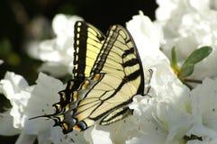 Yellow and white. Yellow butterfly feeding on white azaleas stock images