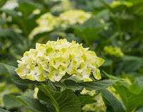 Yellow and white blooming Hydrangea plants in a cut flower  nurs Royalty Free Stock Photo