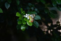 Yellow white butterflies perch on tree royalty free stock photography